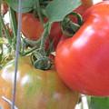 Fresh Tomatoes Ahead by M E Cieplinski