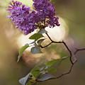 Fresh Violet Lilac Flowers by Jaroslaw Blaminsky