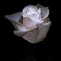 Fresh White Rose by Douglas Barnett