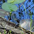 Freshwater Turtle Sunning by Edie Ann Mendenhall