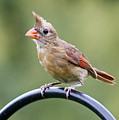 Friendly Female Cardinal  by Carol Groenen