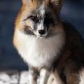 Friendly Fox by Ward Thurman