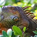 Friendly Iguana by Joe Arwood