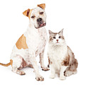 Friendly Pit Bull Dog And Pretty Cat by Susan Schmitz