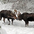 Friendly Sparring Bull Moose by Cindy Murphy - NightVisions