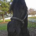 Friesian Horse Head by Waterdancer