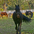 Friesian Horses - Pasture by Waterdancer