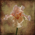Frilly Iris by Elaine Teague