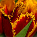 Fringe Tulip by Sherman Perry