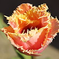 Fringed Tulip by Sherri Keene