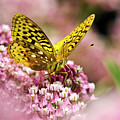 Fritillary Butterfly On Flowers by Christina Rollo