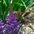 Fritllary Butterfly On Astilbe by Douglas Barnett