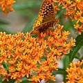 Frittalary Milkweed And Nectar by Douglas Barnett