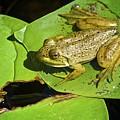 Frog 2 by Robert Skuja