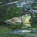 Frog In A Pond by Bill Cannon