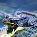 Frog In Water by Amber D Hathaway Photography