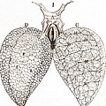 Frog Lungs, Malpighi, 1661 by Wellcome Images
