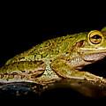 Cuban Tree Frog by Olga Hamilton
