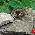 Frog On A Rock by Leslie Gatson-Mudd
