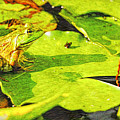 Frog On Lily Pad by Geraldine Scull