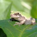 Froggie In The Pepper Patch by Krista Kulas