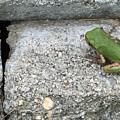 Froggie by Lisa Cassinari