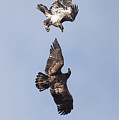 Frolicking Eagles by Paul Freidlund