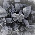 Frost On Leaves 1 by Venus Speedwell