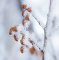 Frost On Pine Cones by Richard Mitchell