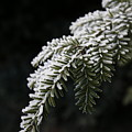 Frost On Pine by Jeff Roney