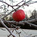 Frosted Apple by Donna King
