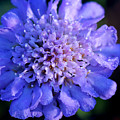 Frosted Blue Pincushion Flower by Karen Adams