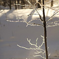 Frosted Branches by Elaine Mikkelstrup