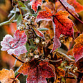 Frosted Fall by Stephen Anthony