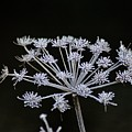 Frosted Hogweed by Hannah Goddard-Stuart