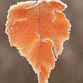 Frosted Leaf by John Burk