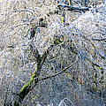 Frosted Limbs by Frank Townsley