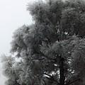Frosted Pine by Juanmanuel Ortega
