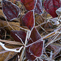 Frosted Red Green Briar by Douglas Barnett