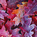 Frosted Red Oak Leaves by Tony Beck