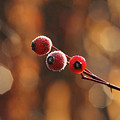 Frosted Rose Hips by Debbie Oppermann