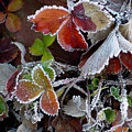 Frosted Strawberries by Shirley Heyn