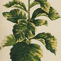 Frosted Thorn, Crataegus Prunifolia Variegata by English School