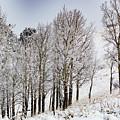 Frosty Aspen Trees by Steve Krull