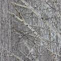 Frosty Birch Tree by Carol Groenen