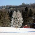 Frosty Birch by William Tasker