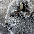 Frosty Bison by D Robert Franz