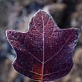 Frosty Lighted Leaf by Douglas Barnett