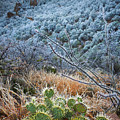 Frosty Prickly Pear by Inge Johnsson