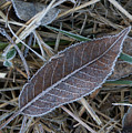 Frosty Veined Leaf by Douglas Barnett